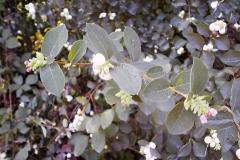 Symphoricarpus albus