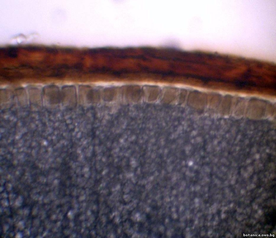 Алейронов слой и ендосперм от семе на Triticum aestivum