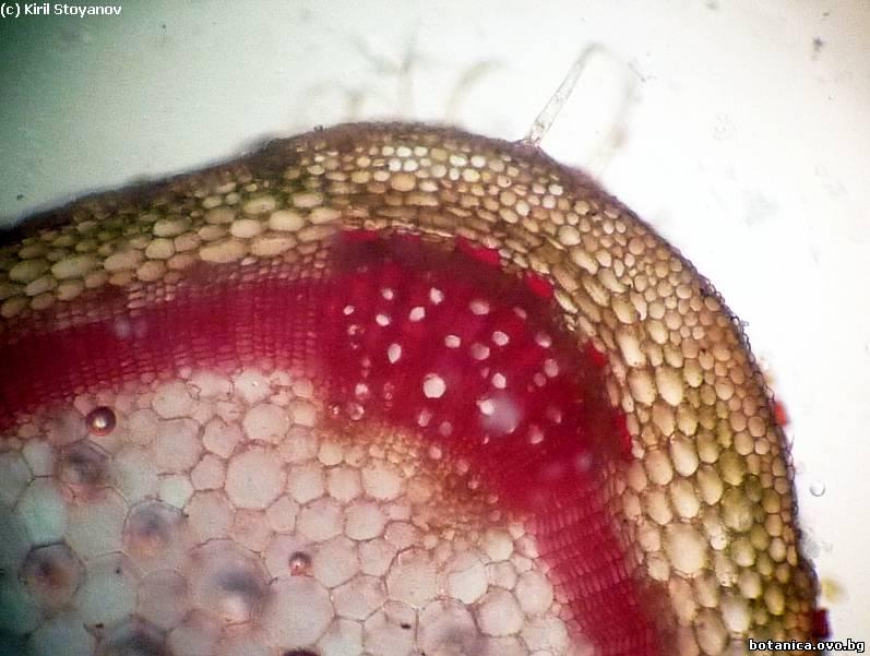 Напречен пререз на стъбло от Plectranthus nummularius