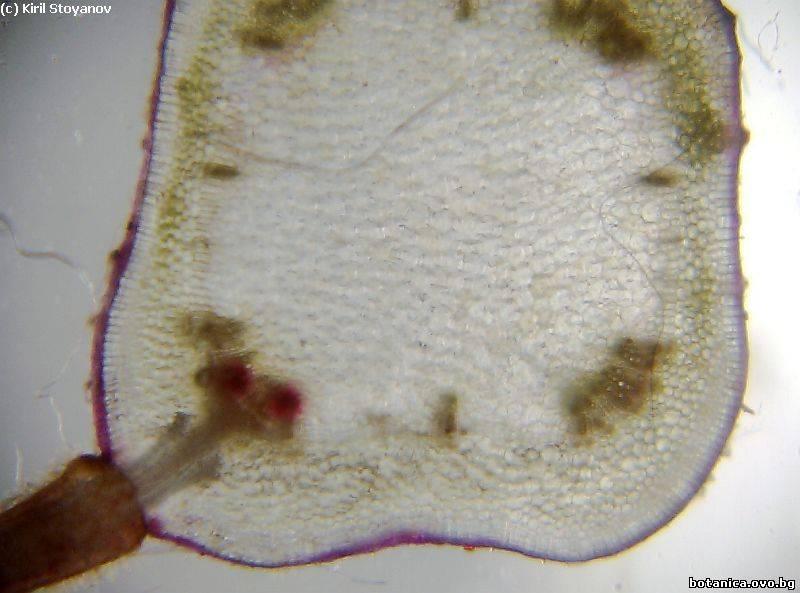 Стъбло от Plectranthus nummularius