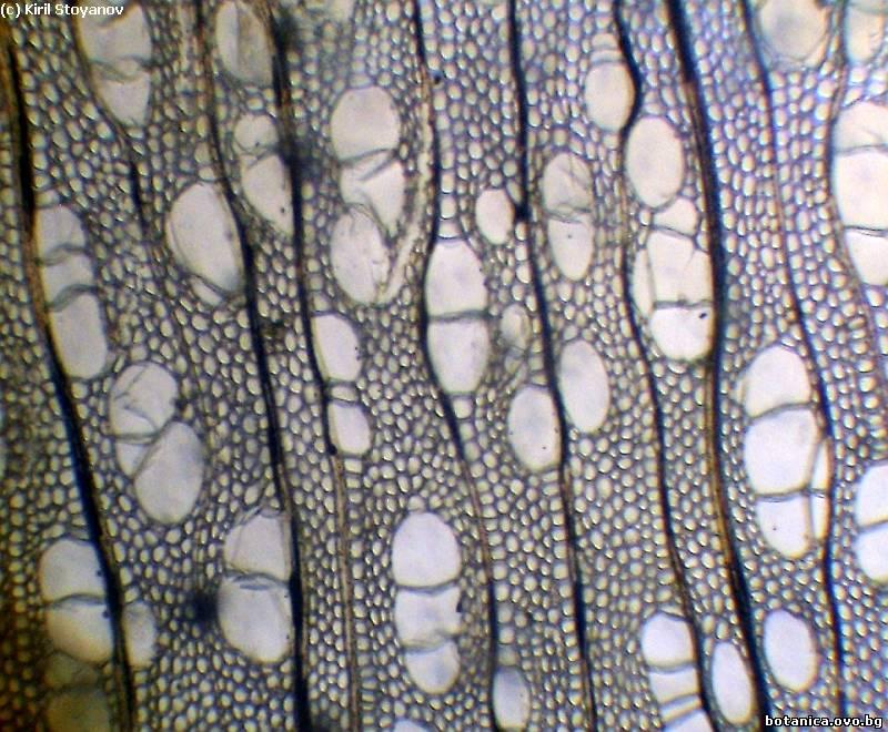 Напречен пререз на дървесина от клонка на Betula pendula