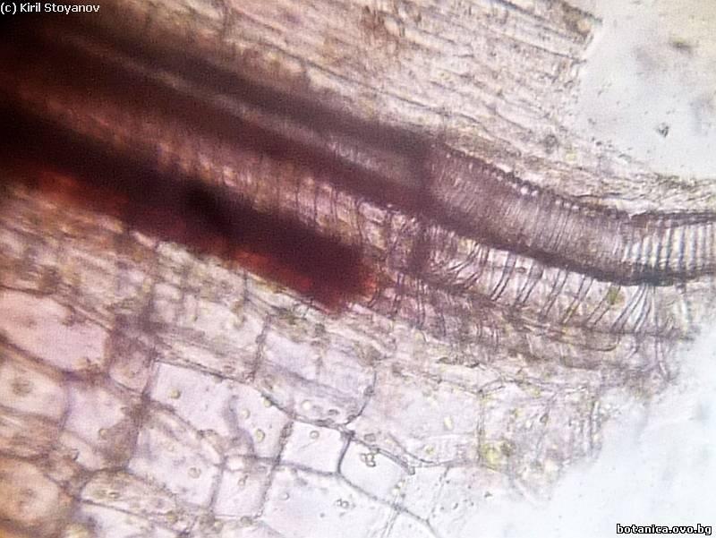 Трахеи в стъбло на Plectranthus nummularius