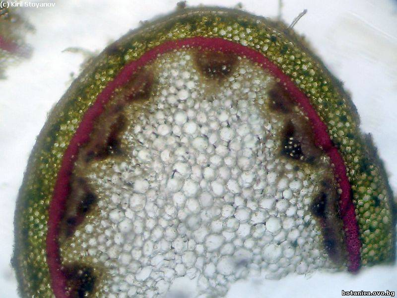 Стъбло от Pelargonium peltatum