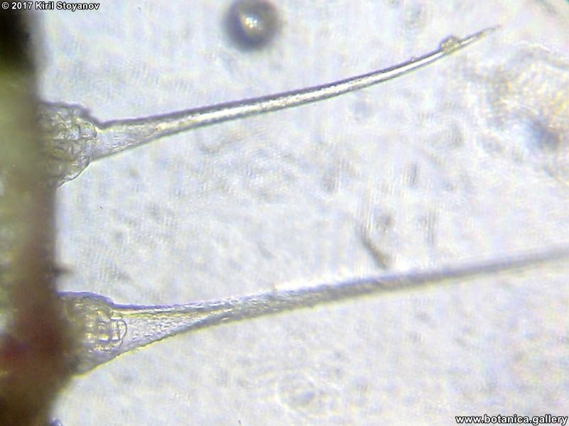 парливи трихоми от Urtica dioica