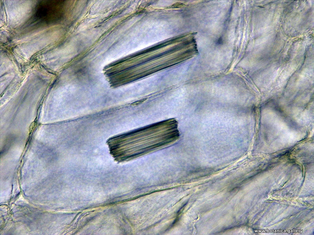 Рафиди в Polygonatum odoratum