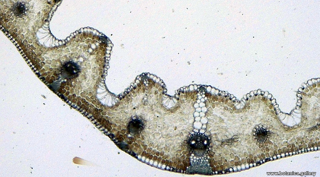 Лист от Festuca pratensis