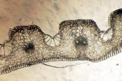 Лист от Festuca pratensis /Ливадна власатка/