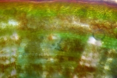 кора от клонка на Tilia cordata