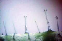Долна епидерма от лист на Pelargonium zonale