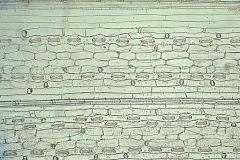 Епидерма от лист на Triticum aestivum