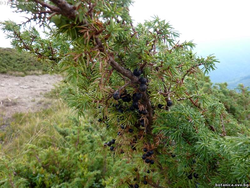 Juniperus sibirica