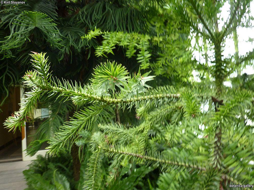 Araucaria angustifolia