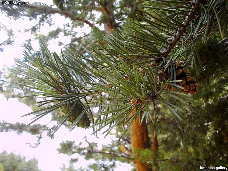 Pinus sylvestris - f